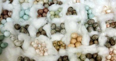 Cor dos ovos de aves é influenciada pela temperatura do ambiente