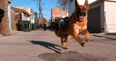Coronavírus: pastor alemão é o primeiro cachorro com Covid 19 nos EUA